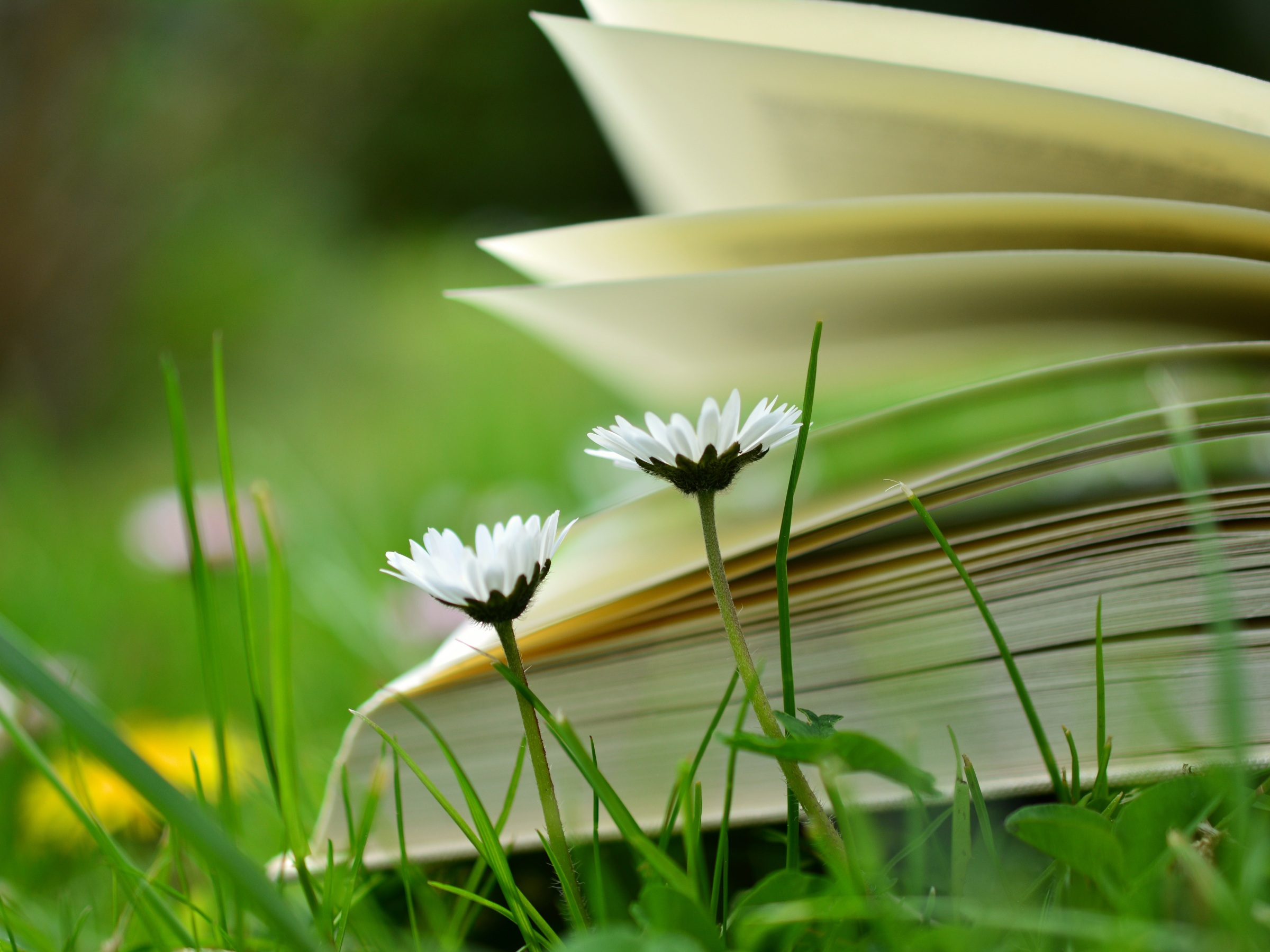 Side view of a book on grass with daisies and dandelions