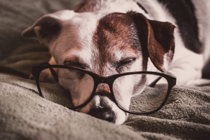 Jack Russel Terrier dog sleeping with big reading glasses on his face